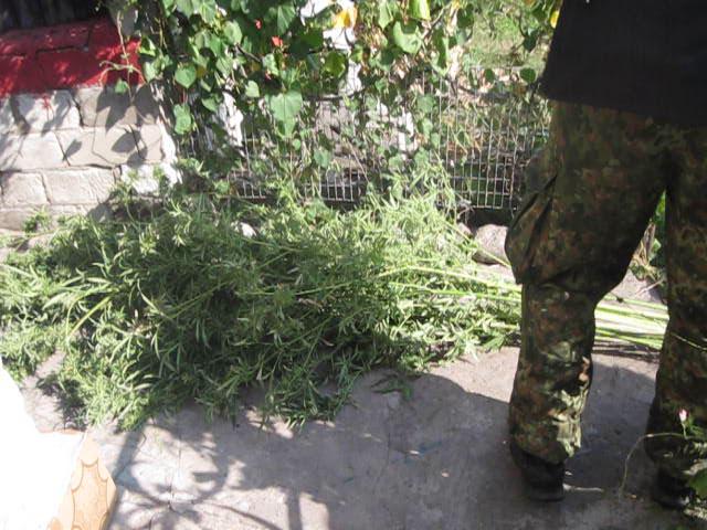 В Славянском и Лиманском районах полицейские обнаружили посевы конопли, фото-2