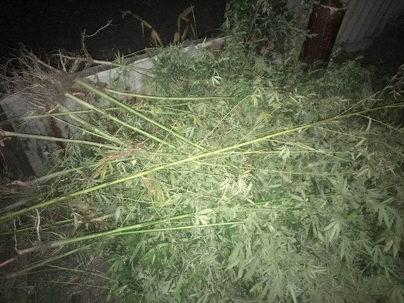 В Славянском и Лиманском районах полицейские обнаружили посевы конопли, фото-3